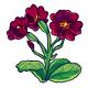 Burgundy Primrose