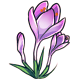 Giant Mauve Crocus