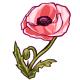 Giant Pink Poppy