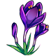 Giant Violet Crocus