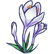 Giant White Crocus