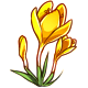 Giant Yellow Crocus
