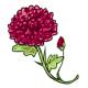 Maroon Crysanthemum