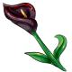 Black Star Calla Lily