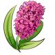 Hot Pink Hyacinth