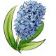 Periwinkle Hyacinth