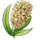 Yellow Hyacinth